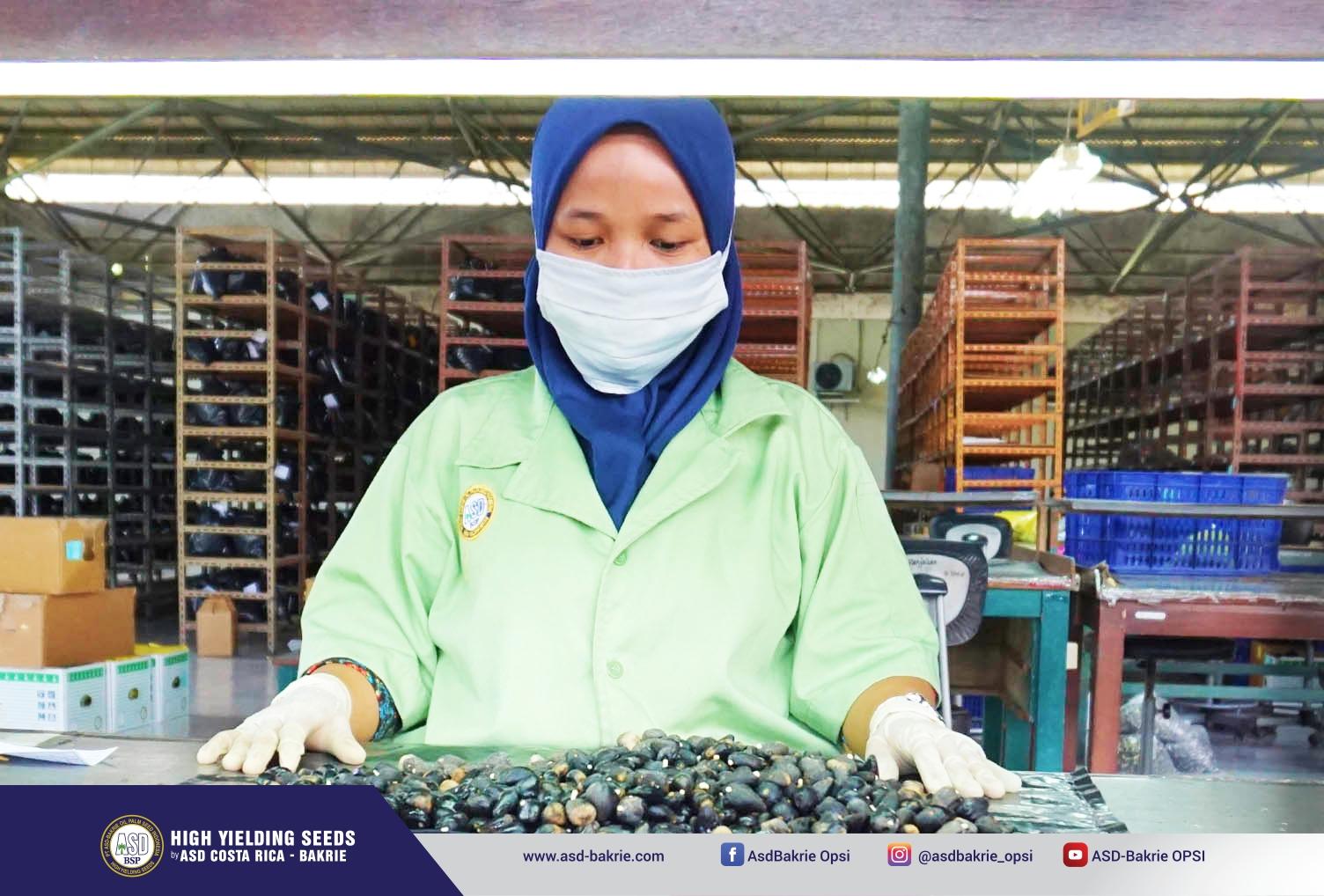 Kegiatan sortasi di Seed Processing Unit - Kisaran, Sumatera Utara